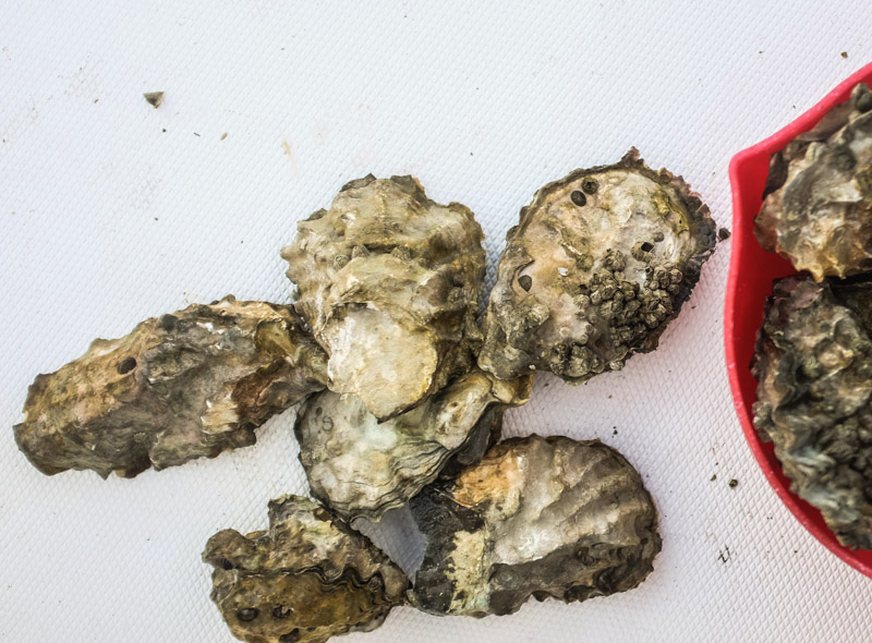 Oysters-5059
