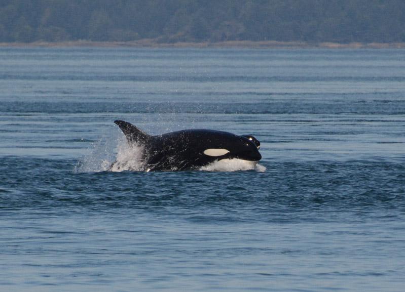 PT_Stuart_orcas-0864