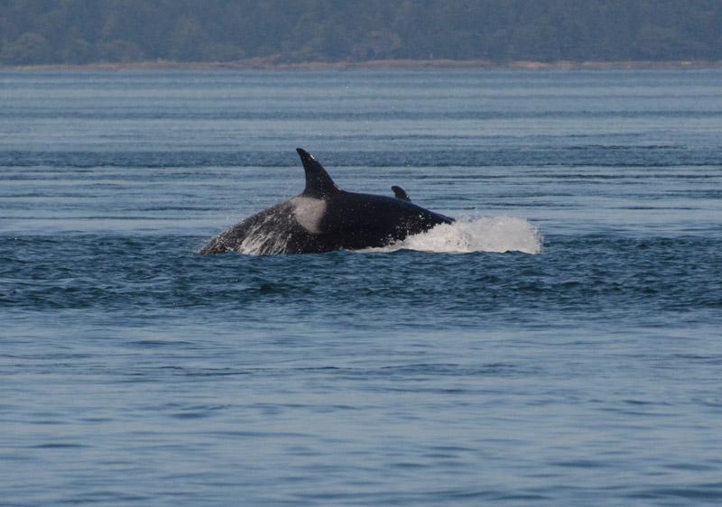 PT_Stuart_orcas-0865