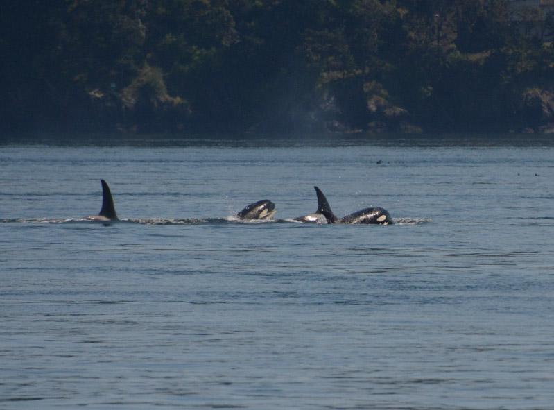 PT_Stuart_orcas-1021