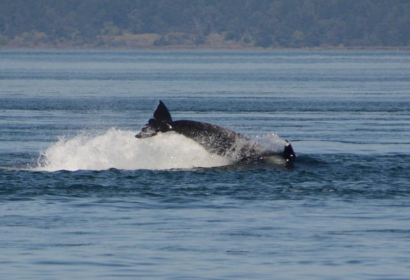 Orcas-0861