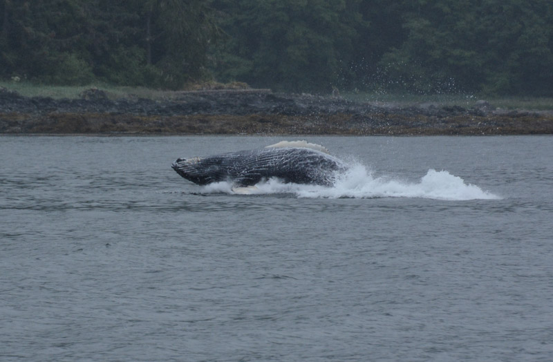 Humpbacks-5775