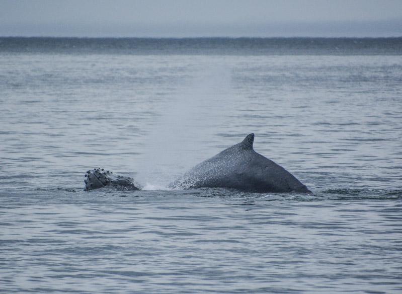 Humpbacks-5913