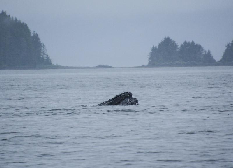 Humpbacks-5794