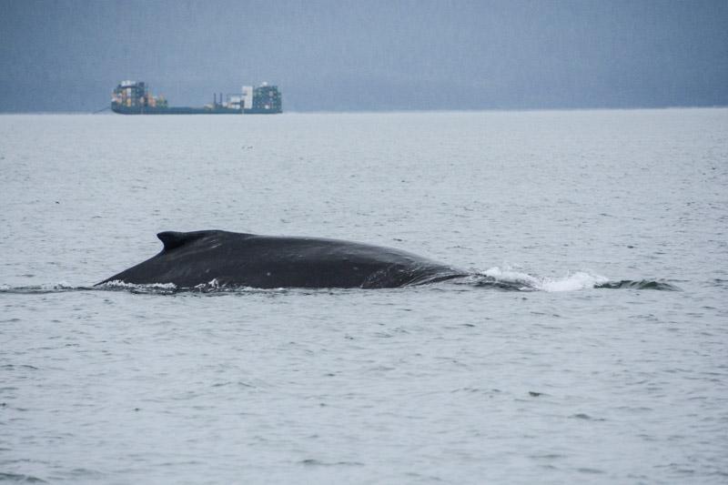 Humpbacks-5537