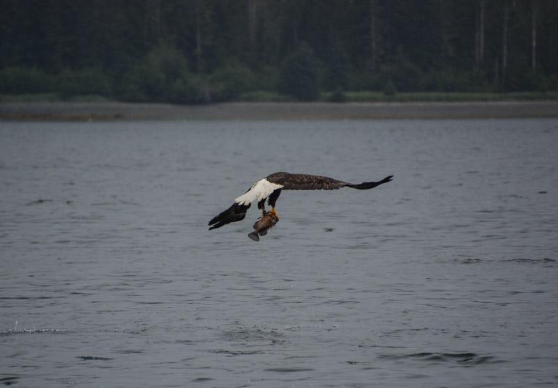 Eagle_fishing-6745