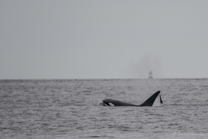 Orcas-0433