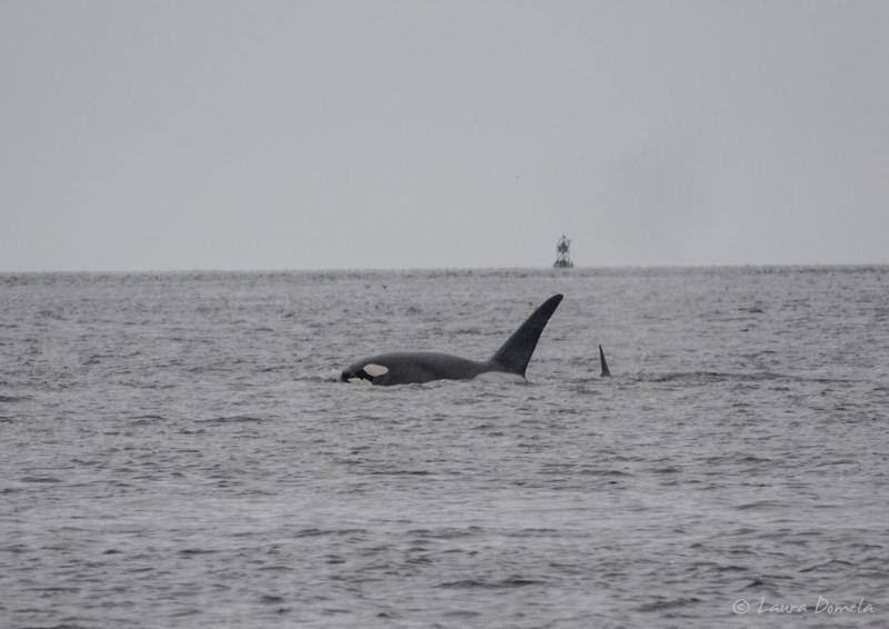 Orcas-0434