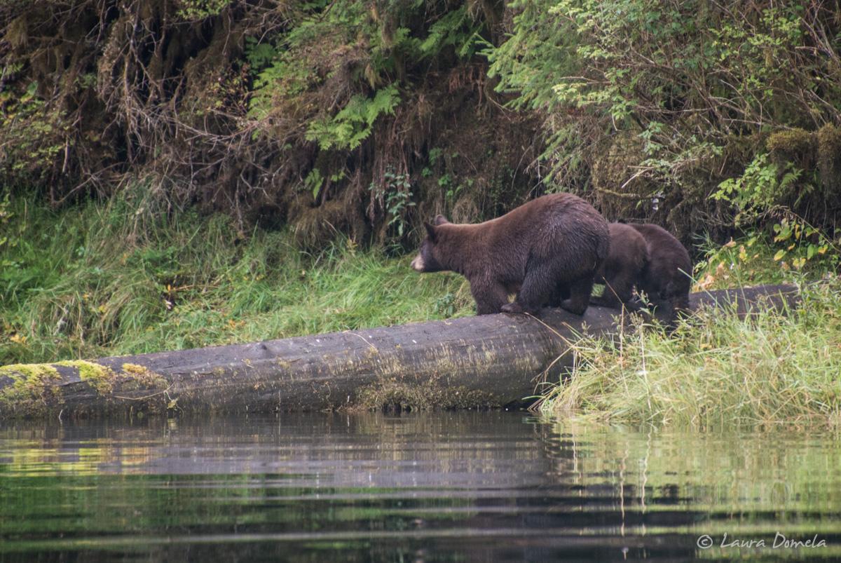 walkercove_bears-5977