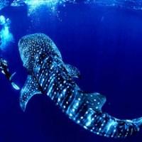 Whale Shark in the Riviera Maya
