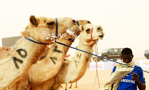 Camels are seen after the 20km camel race during the opening of the Janadriya festival near Riyadh, in this April 3, 2013 file photo. (Reuters)