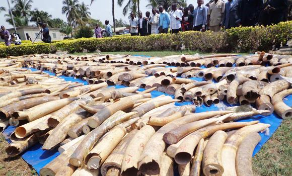 A stock of seized Ivory in Lome's autonomous port, put on diplay at the Security minister in Lome.