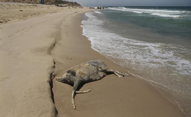 The carcass of a donkey is seen on a beach in the central Gaza Strip