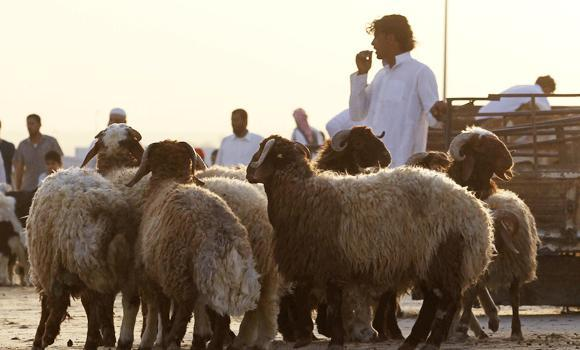 Sheep are displayed for sale at a market in Riyadh, in this October 11, 2013 file photo.