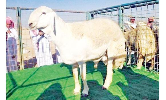This rare sheep of Al-Hari breed in Taif fetched its owner SR1 million.