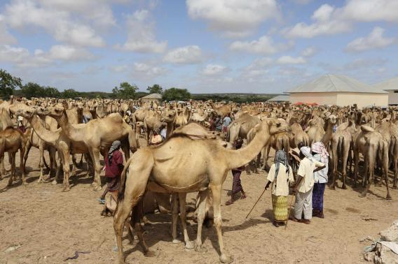 Somali traders and their camels wait at the open air export market, on the outskirts of Somalia's capital Mogadishu.