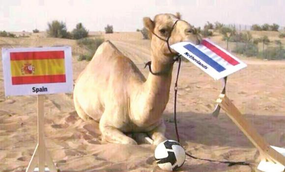 Shaheen the camel correctly predicted that the Netherlands would beat Spain.