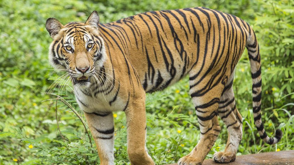 A Bengal tiger. The incident was the sixth tiger attack this year in the Sunderbans.