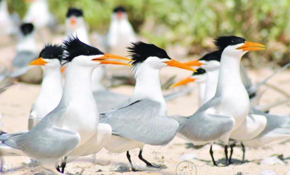 Migratory birds arrive in Tabuk with the onset of winter. (SPA)