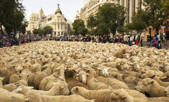 Shepherds lead their sheep through the center of Madrid, Spain, on Sunday in defense of ancient grazing, droving and migration rights increasingly threatened by urban sprawl and modern agricultural practices. Tourists and city-dwellers were surprised to see the capital's traffic cut to permit the ovine parade to bleat — bells clanking — its way past the city's most emblematic locations.