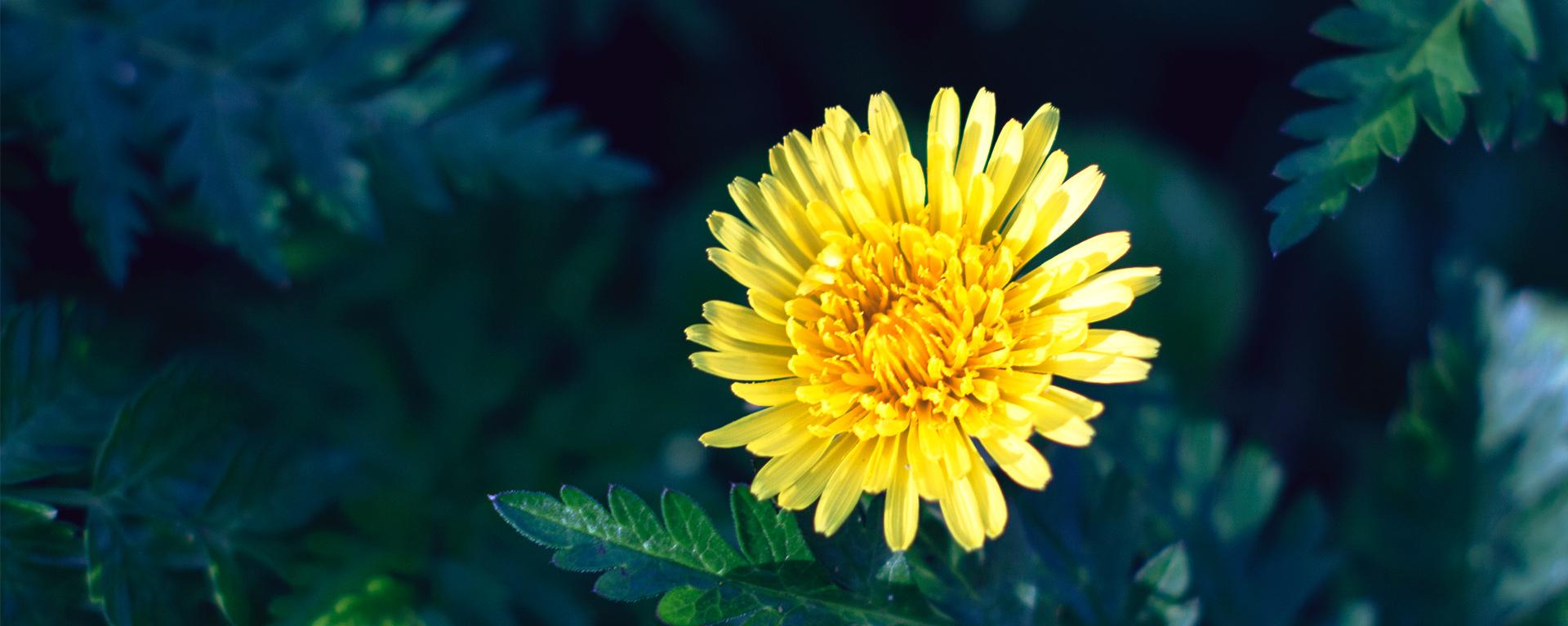 Little Yellow Sun Flower from The Netherlands