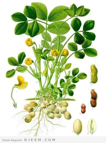 الوصف النباتي للفول السوداني