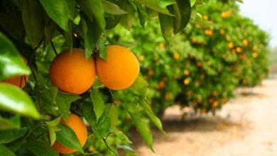 Photo of البرتقال و قشره – فوائد البرتقال و قشره الصحية و الجمالية