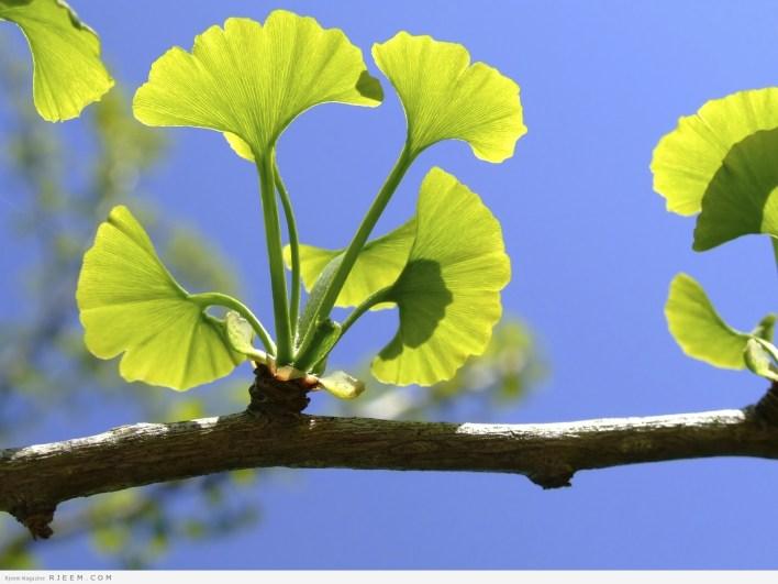 فوائد واضرار عشبة الجنكة