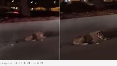 Photo of فيديو: مواطن يوثق وجود أسد أمام جامعة الملك سعود بالرياض