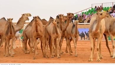 Photo of إصابة 30 شخصا في مهرجان الإبل يثير موجة غضب