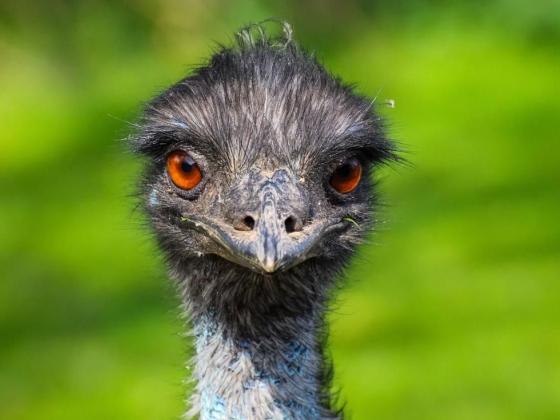 الايمو Emu 1