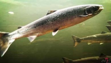 Photo of معلومات عن الأسماك العظمية