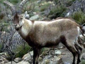 Photo of الوعل التيس Ibex , صور و معلومات عن وعل التيس