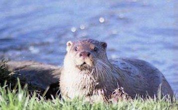 Photo of القندس الأوراسي Eurasian Otter , صور و معلومات عن القندس الاوراسى