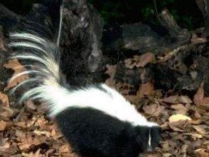 Photo of الظربان المخطط Striped Skunk , صور و معلومات عن الظربان المخطط