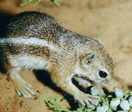Photo of السنجاب الظبي الأبيض الذيل White-tailed Antelope Squirrel , صور و معلومات عن سنجاب الظبى