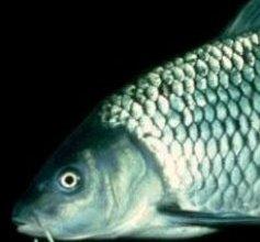 Photo of سمكة الكارب Carp , صور و معلومات عن سمكة الكارب