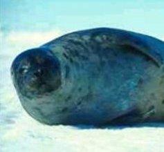 Photo of عجل القيثارة Harp Seal , صور و معلومات عن عجل القيثاره