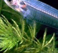 Photo of سمكة القط الزجاجية Glass Cat Fish , صور و معلومات عن سمكه القط الزجاجيه