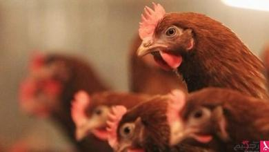Photo of بريطانيا: 3 ملايين دولار تعويضات عن عقم الدجاج