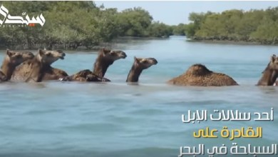 Photo of شاهد| إبل الكوتش .. قادرة على السباحة في البحر مسافة 3 كم