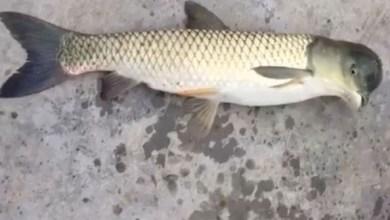 Photo of بالفيديو: هل هذه أغرب سمكة على الإطلاق؟