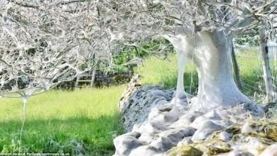 Photo of بالفيديو: آلاف اليرقات تحول شجرة إلى شرنقة حريرية عملاقة