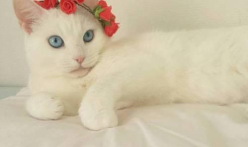 Photo of صور قطط بطوق ورد , خلفيات قطة لابسه طوق ورد , قطط انيقة