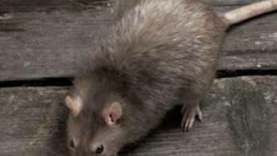 Photo of اضرار وجود الفئران في المنزل , تلوث الفئران للبيت