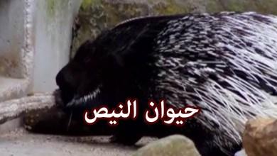 Photo of لحم النيص وعلاج ضعف القلب