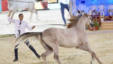 "Photo of ""200"" جواد تتنافس على لقب بطولة مكة المكرمة الدولية لجمال الجواد العربي"