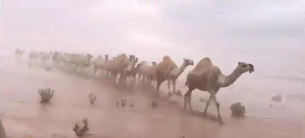 Photo of صور ابل تسير وسط السيول تثير اعجاب السعوديين