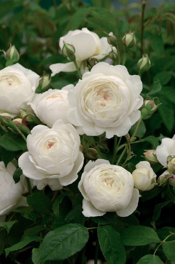 صور عن الورد للأنستجرام