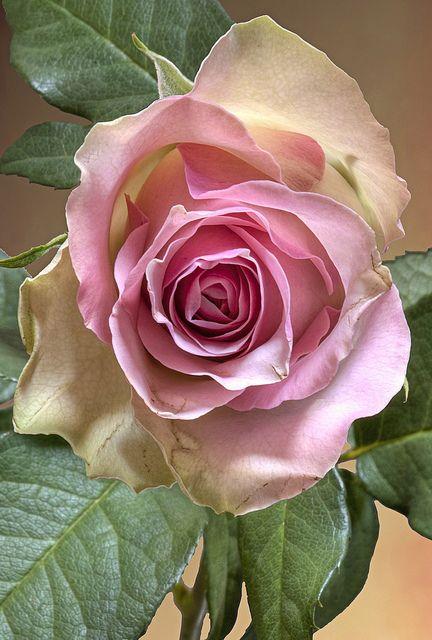 صور عن الورد للفيس بوك